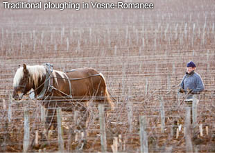 Traditional ploughing in Vosne-Romanee
