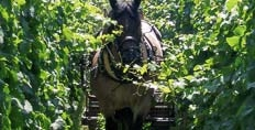 Horse mowing a Zind Humbrecht vineyard