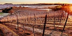 Rochioli vineyards in winter copyright Kim Carroll