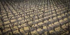 Vines at Chateau Lafite