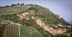 Riesling in the Heimbourg vineyard